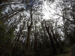 Bosque de eucaliptos de camino a Cape Otway