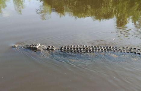 En busca de Cocodrilos en Australia