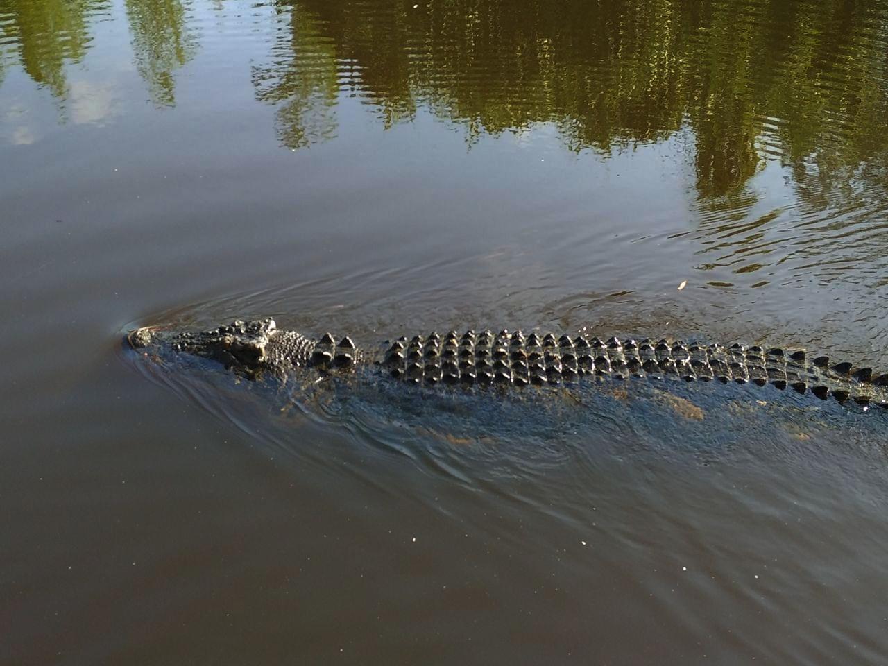 Los cocodrilos de agua salada pueden medir hasta 6 metros de longitud.