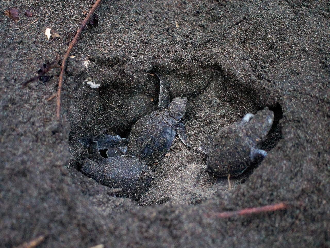 Crías de tortuga en la playa de Tortuguero.