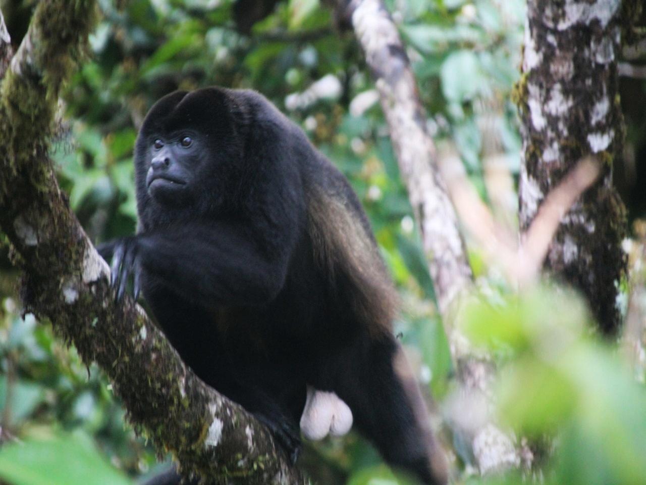 El mono aullador es uno de los animales que ver en Costa Rica.