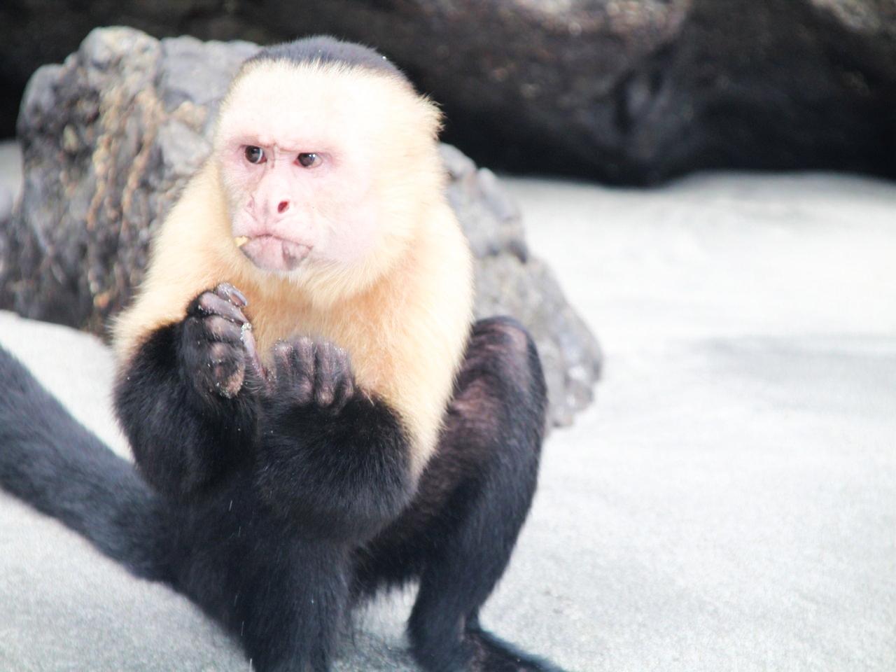 Si visitas Manuel Antonio en tu viaje a Costa Rica en dos semanas, recuerda no dar de comer a los monos cara blanca.