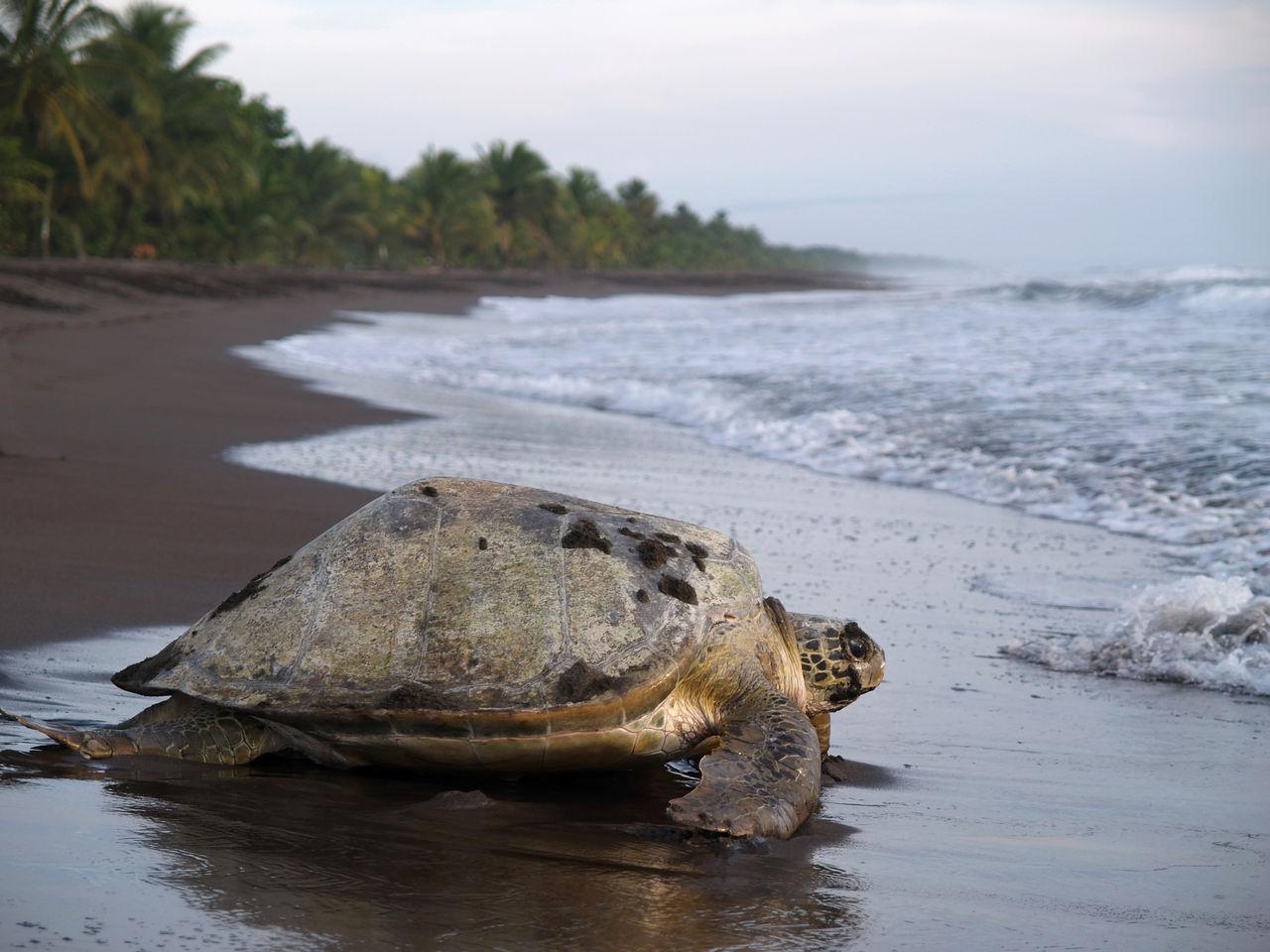 Qué ver en Tortuguero en dos días: desove de las tortugas.