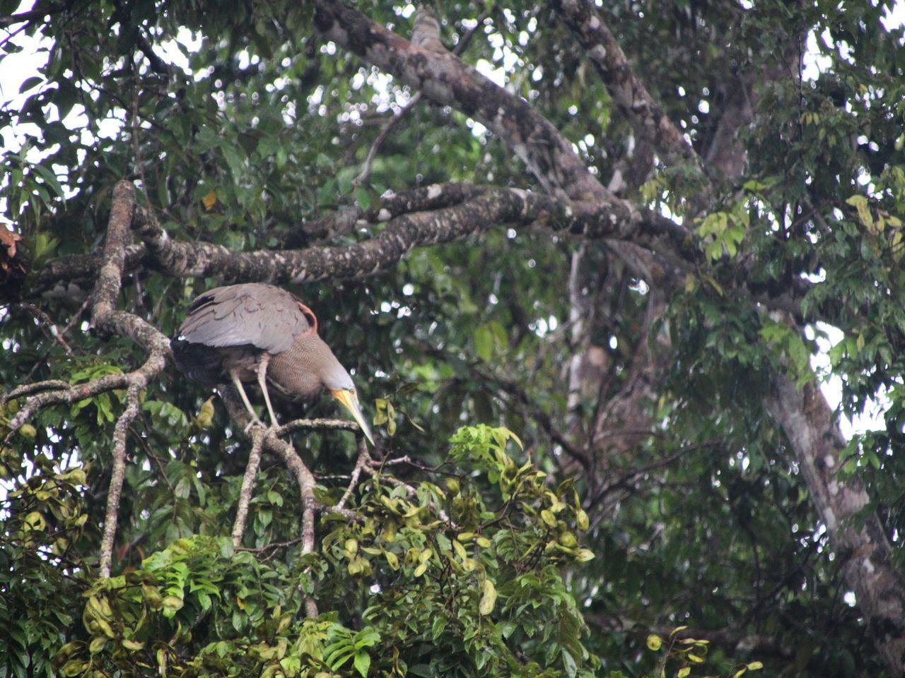 Tortuguero es el paraíso de los ornitólogos, con más de 400 especies de aves.