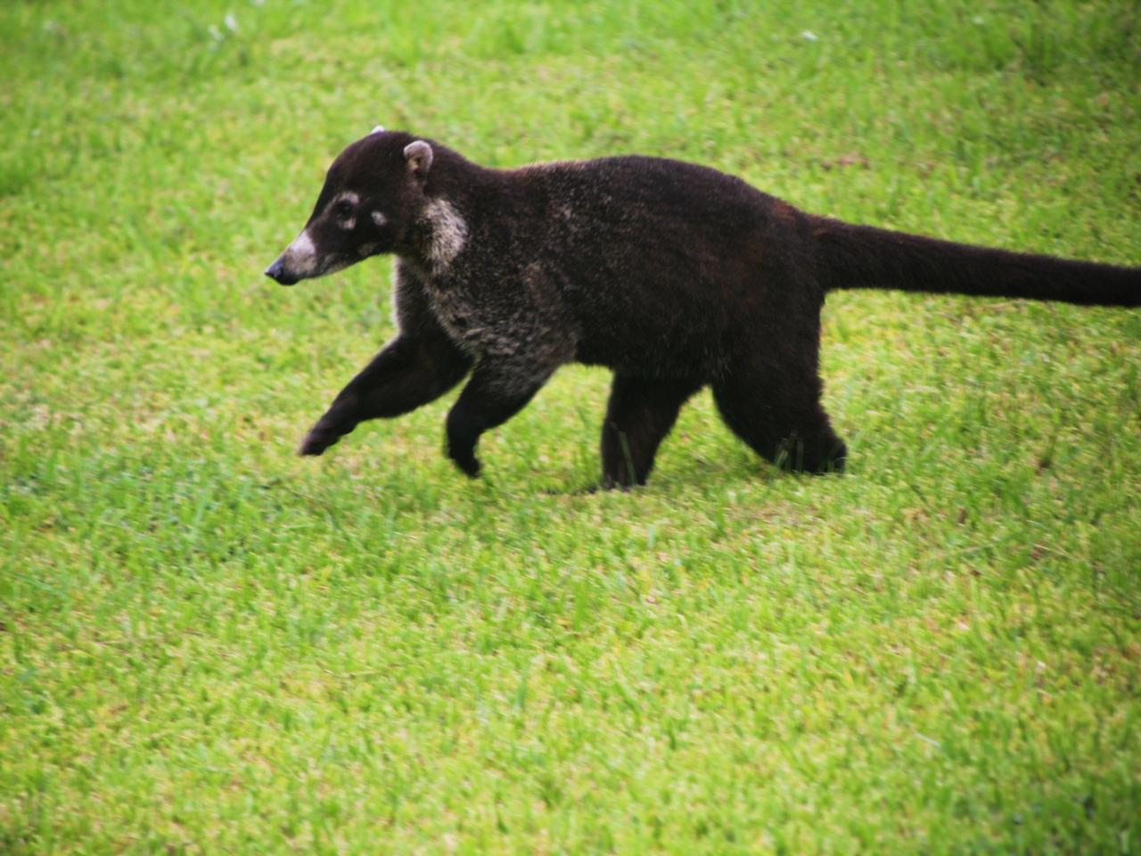 Un coatí en el jardín del hotel en Montezuma.