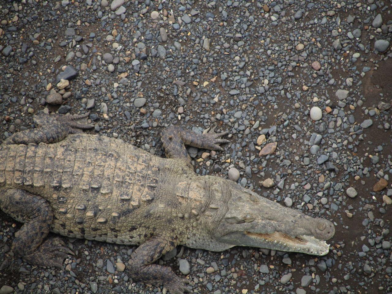 Desde el puente del río Tárcoles puedes ver cocodrilos como éste.