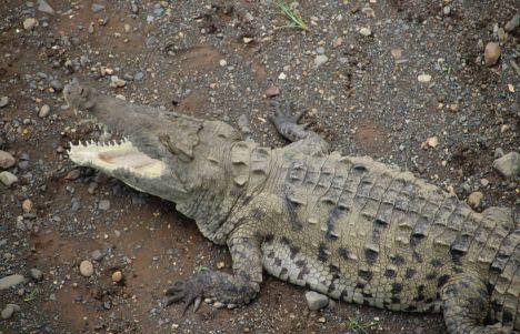 Río Tárcoles, cocodrilos de Costa Rica a escasos metros
