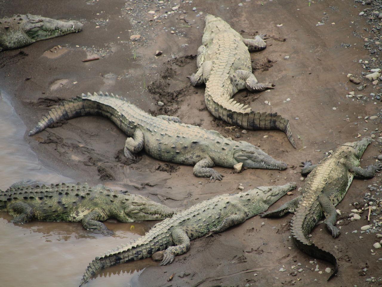 Río Tárcoles, cocodrilos de Costa Rica a escasos metros.