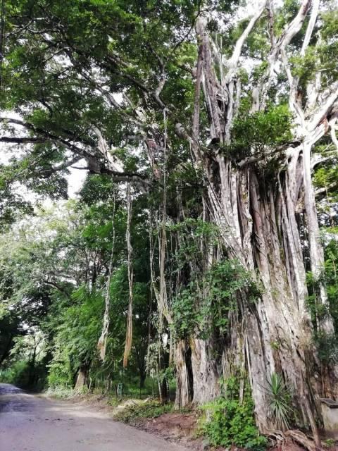 Jamás había visto un ficus de 40 metros de altura. Puedes verlo en Cabuya.