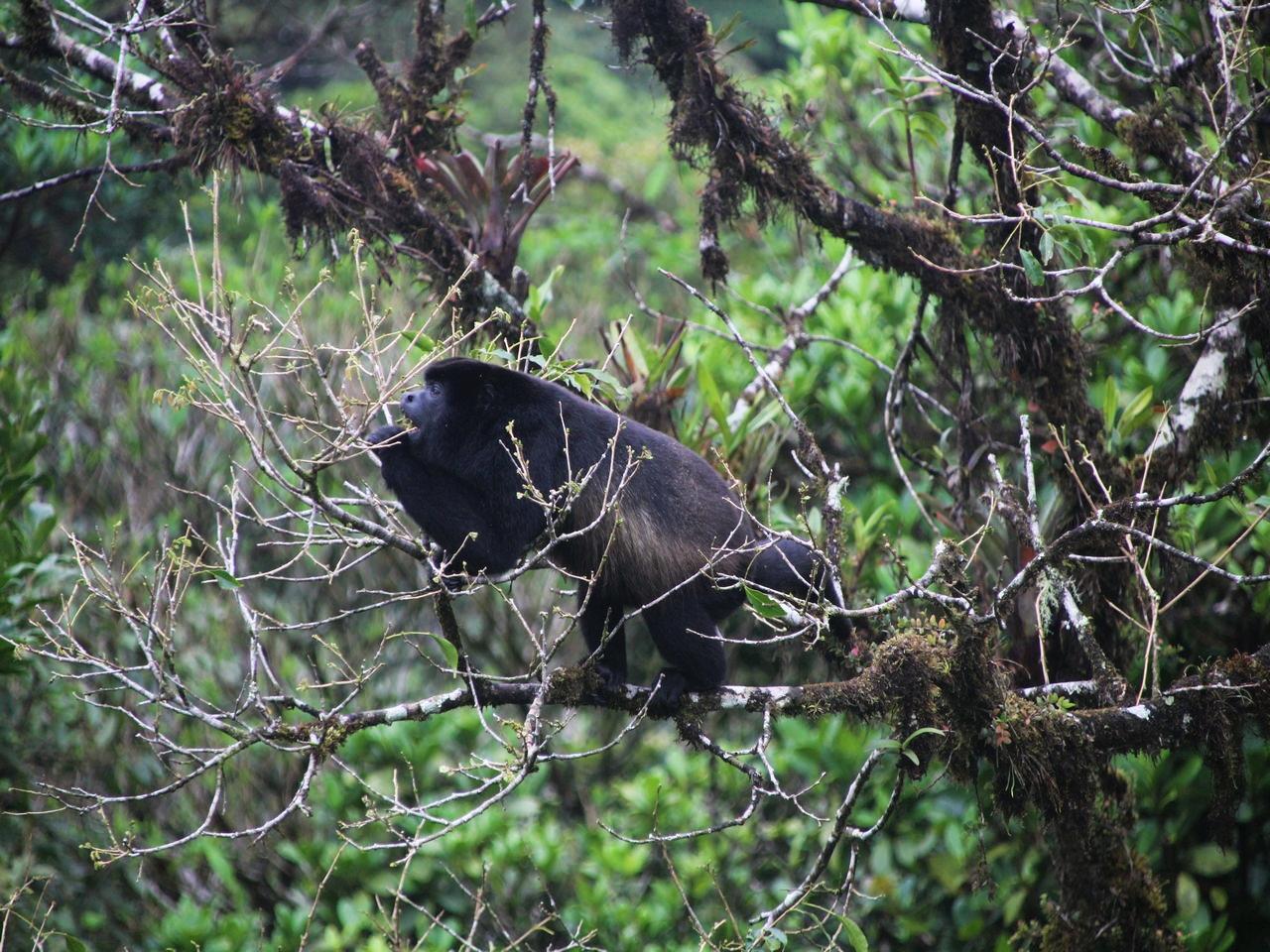 Ver monos aulladores es un plan que hacer en Monteverde sí o sí.