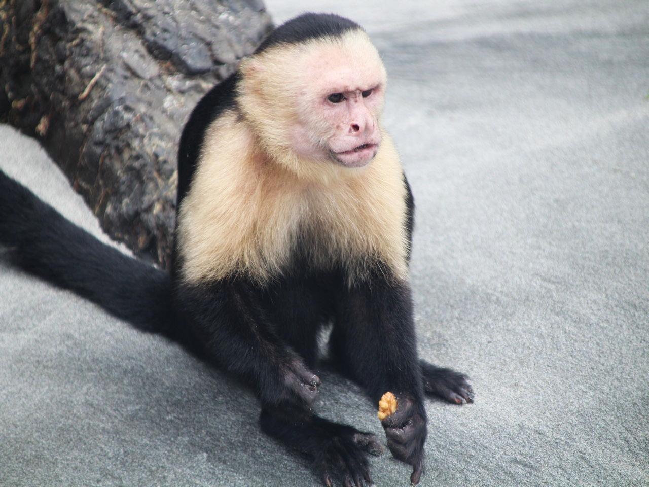 Mono capuchino o mono cara blanca en el Parque Nacional Manuel Antonio.