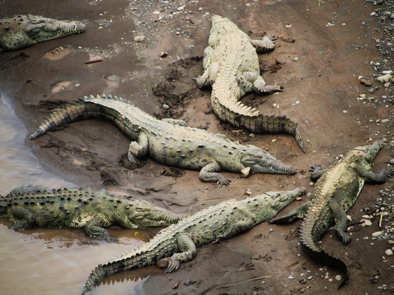 De Puntarenas al Parque Nacional Manuel Antonio verás cocodrilos en el río Tárcoles.