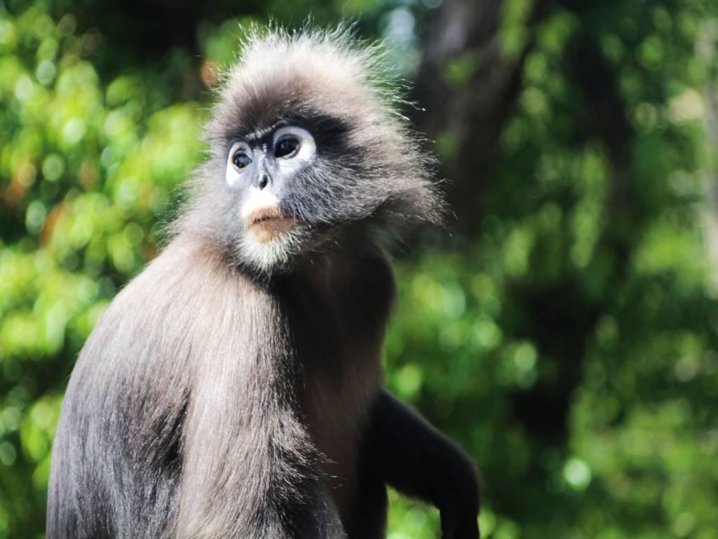 Qué ver en Penang en dos días: mono de hoja oscura en Penang Hill.