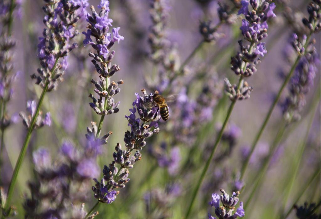 Las abejas te acompañarán durante todo el día, pero no te apures porque están concentradas en la polinización.