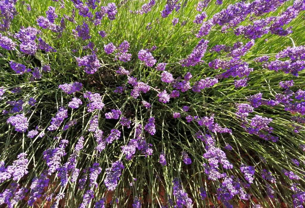 La lavanda de Brihuega tiene un aroma muy especial y se utiliza para jabones, perfumes y aceites esenciales, entre otros usos.