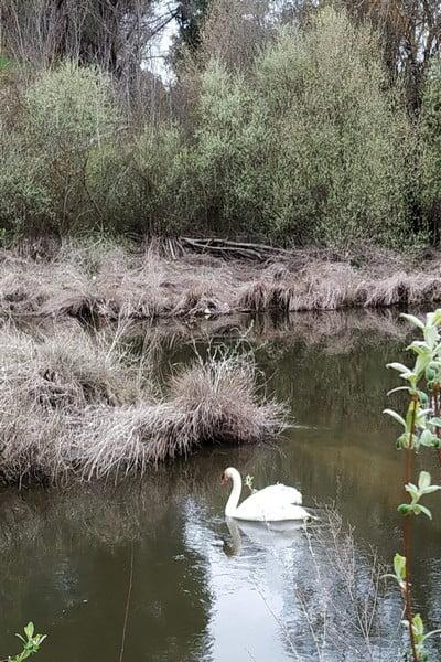 Vimos este cisne blanco a escasos metros del Puente de los Capuchinos.